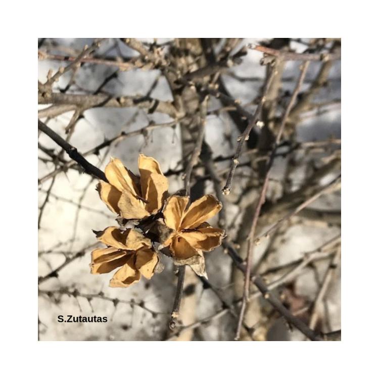 S.Zutautas spiky bush