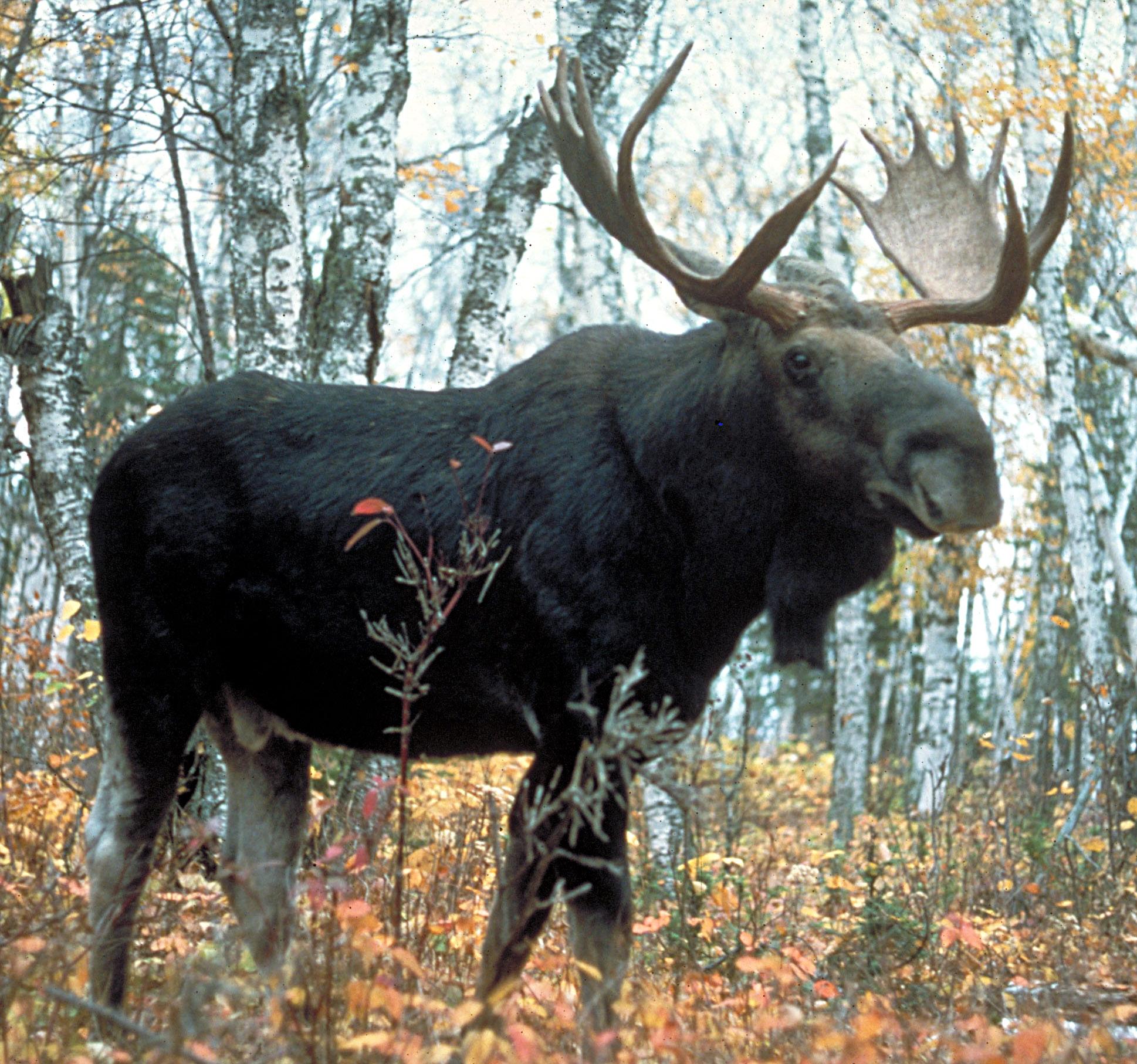 moose_superior