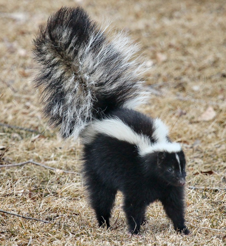 skunk_about_to_spray