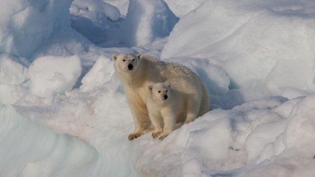female_polar_bear_28ursus_maritimus29_with_cub2c_svalbard