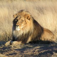 No Lions Sleep Tonight - Flash Fiction