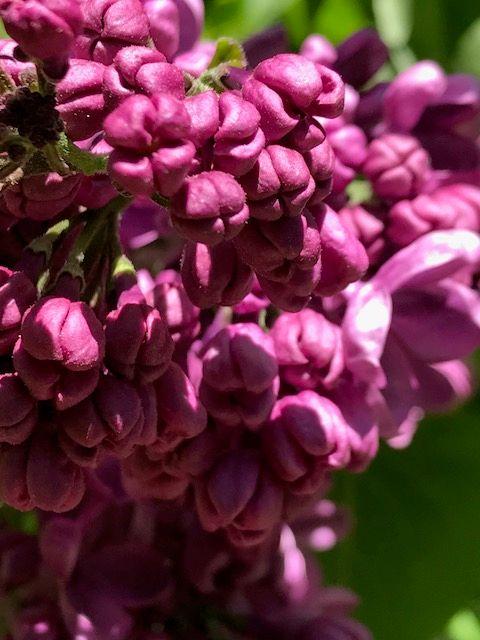FOTD Lilacs