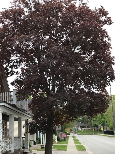red maple2