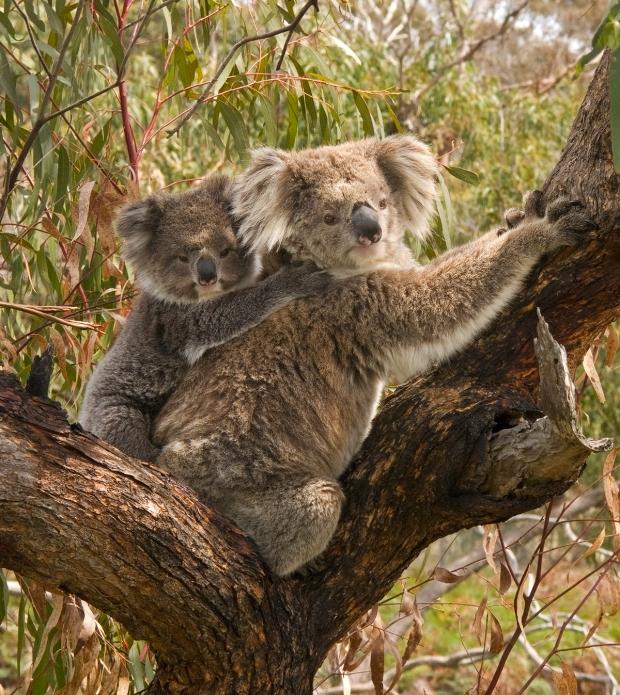 koala_and_joey