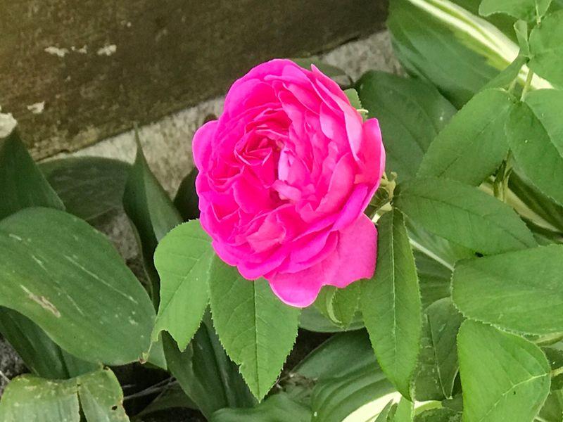 wild roses 2019