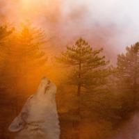Who Howls - Haiku
