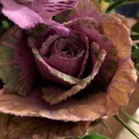 Cabbage Rose Flower