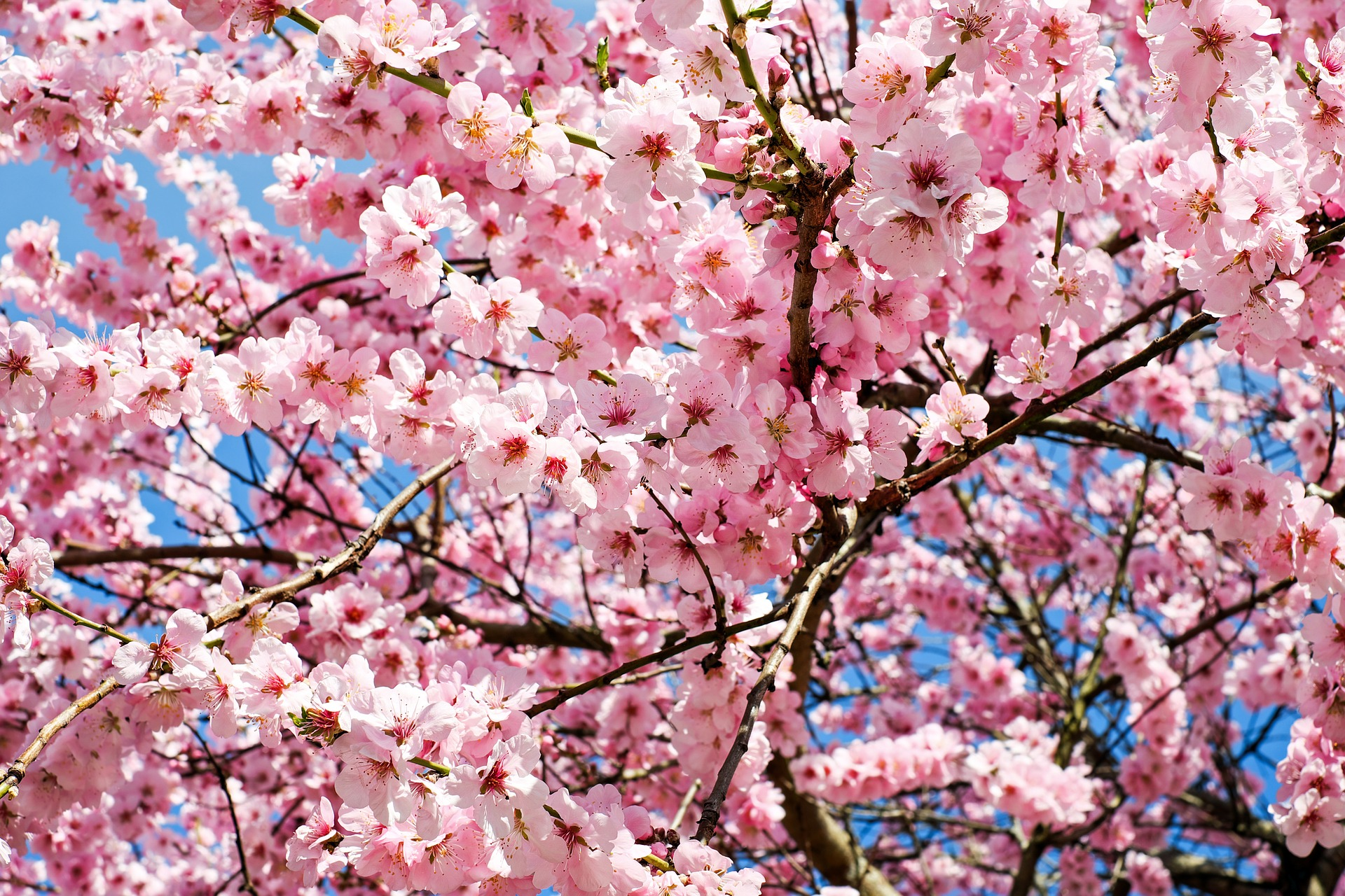 japanese-cherry-trees-3063992_1920