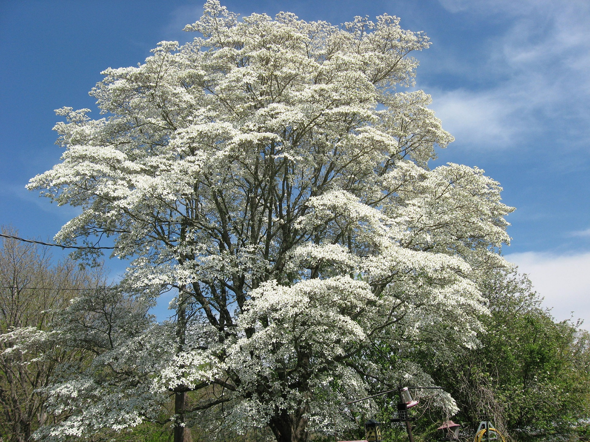 dogwood-tree-354002_1920
